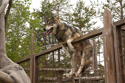 dog climbing over the fence